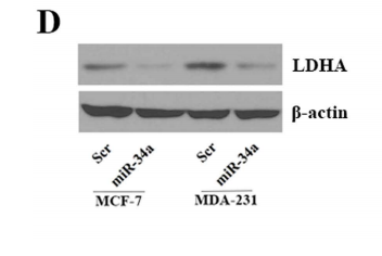AF7018|affinity|Beta actin antibody from Rabbit 1mg/ml